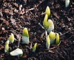 球根 植え方 植え替え時期
