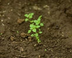 発芽後,間引き,鉢上げ,ポット,コツ,方法,目的,まとめ