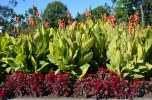ケイトウ 植え付け 肥料