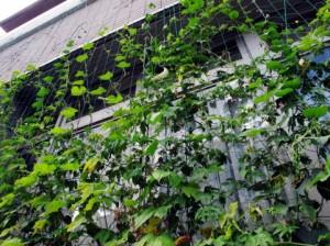 緑のカーテン 植物