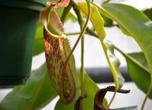 うつぼかずら 食虫植物